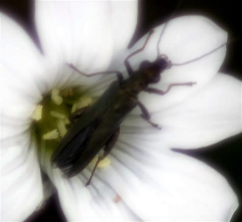 Grünlicher Scheinbockkäfer(Oedemera lurida(Marsham 1802))