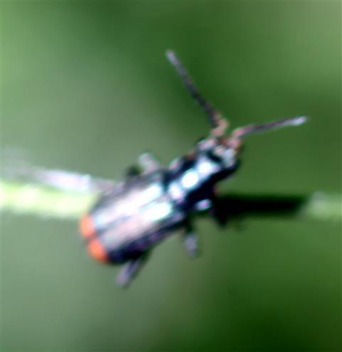 Zweifleckiger Zipfelkäfer(Malachius bipustulatus(L. 1758))