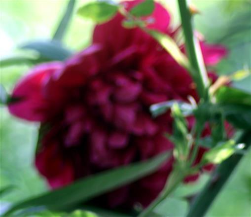 Gefüllte Blüte einer Gemeinen Pfingstrose(Paeonia officinalis(L.))