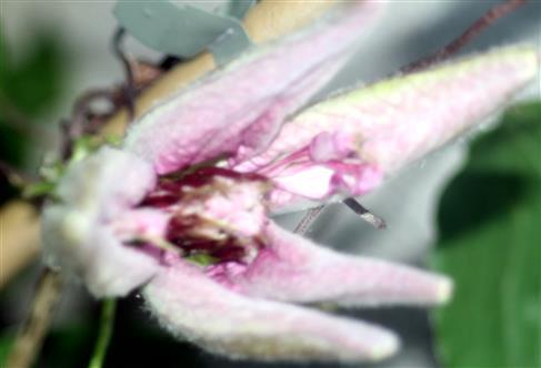 Sich öffnende Waldrebenknospe bzw. -blüte(Clematis(L.))