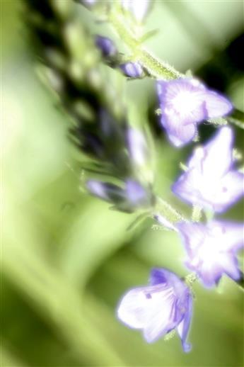 Blüten des Großen Ehrenpreises(Veronica teucrium(L.))
