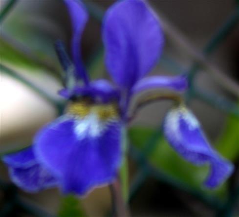 Verschiedenfarbige Schwertlilie(Iris versicolor(L.))