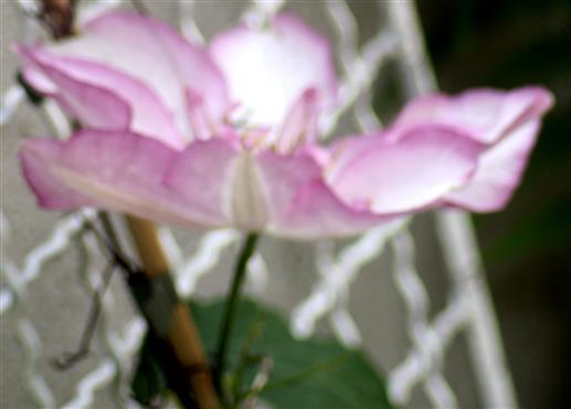 Geöffnete Blüte einer Waldrebe(Clematis(ein Hybride))