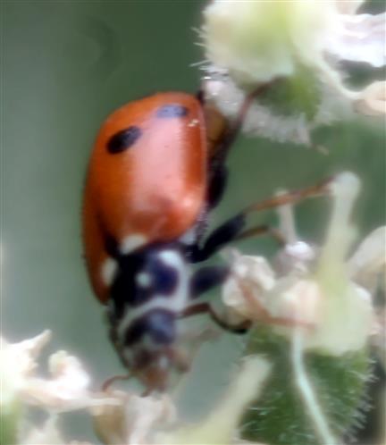 Variabler Flach-Marienkäfer(Hippodamia variegata(Goezze 1777)
