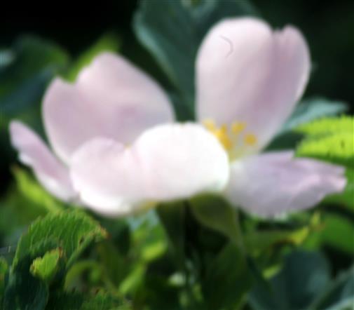 Heckenrose(Rosa corymbifera(Borkh.))
