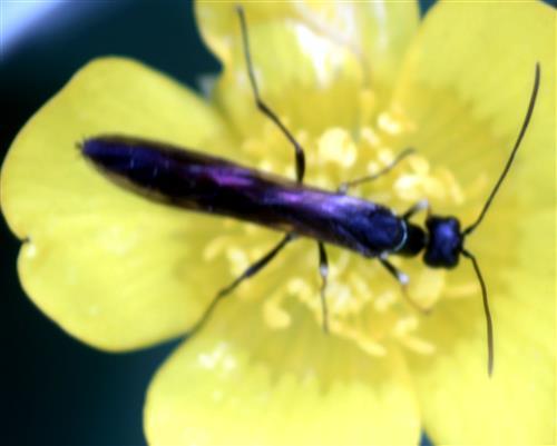 Schilfrohr-Halmwespe(Cephidae)(Calameuta filiformis(Eversmann 1847))