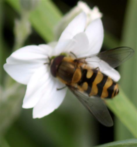 Gestreifte Waldschwebfliege(Dasysyrphus albistriatus(Fallén 1817))