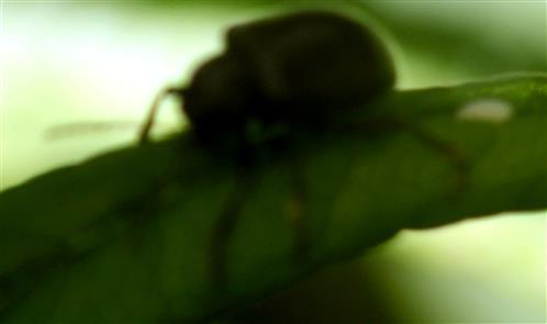 Rebenfallkäfer(Bromius obscurus(L. 1758))