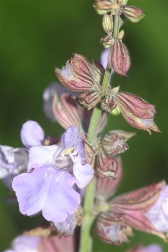 Eine Blüte des Echten Salbeis(Salvia officinalis(L. ))