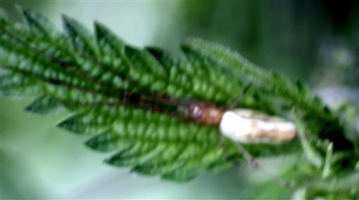 Gemeine Streckerspinne(Tetragnatha extensa(L. 1758))