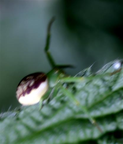 Grüne oder Grünbraune Krabbenspinne(Diaea dorsata(Fabricius 1777))