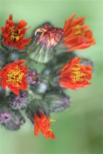Blüten des Orangeroten Habichtskrautes(Hieracium aurantiacum(L.))