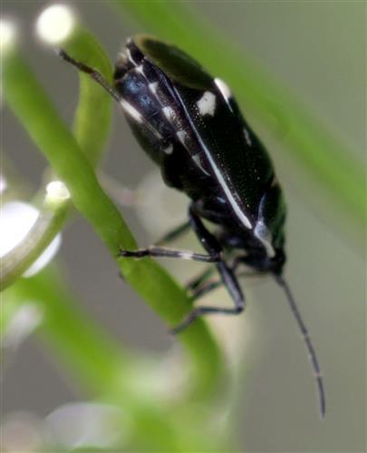 Kohlwanze(Eurydema oleraceum(L. 1758))