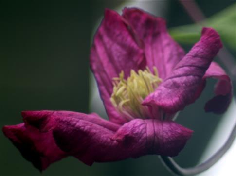 Blüte einer Waldrebe(Clematis Hybride Ville de Lyon)