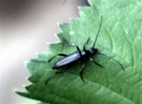 Mohren-Schmalbock(Strangalia aethiops(Villiers 1967))