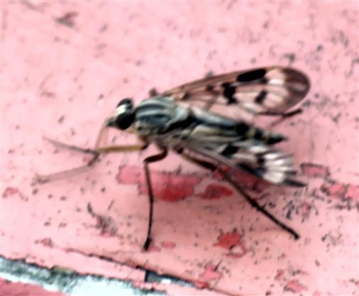 Gemeine Schnepfenfliege(Rhagio scolopaeus(L. 1758))