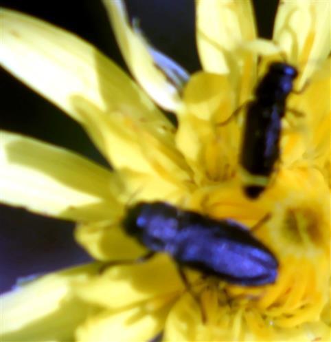 Schweizer Prachtkäfer(Anthaxia helvetica(Stierlin 1868))
