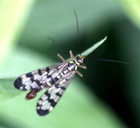 Gemeine Skorpionsfliege(Panorpa communis(L. 1758)) (männlich)