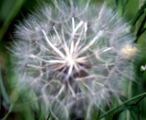 Letztjährige Blüte des Wiesen-Bocksbartes(Tragopogon pratensis(L.))