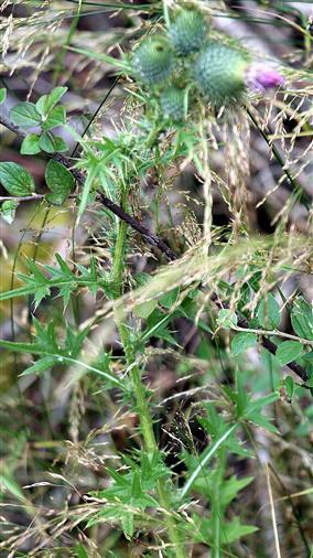 Gewöhnliche Kratzdistel(Cirsium vulgare(Savi)Ten.)