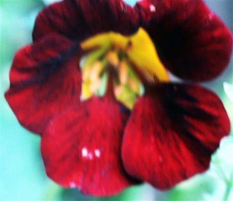 Blüte einer (roten) Kapuzinerkresse(Tropaeolum(L.))