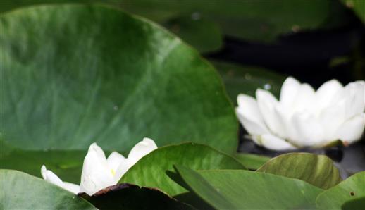 Blüten einer Weißen Seerose(Nymphaea alba(L.))