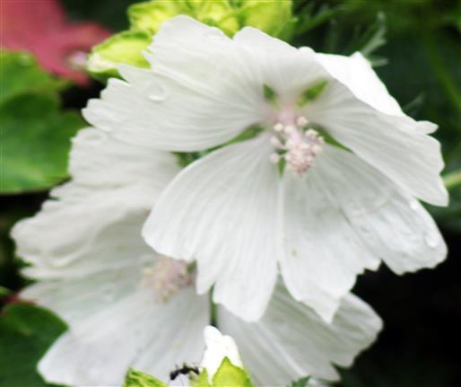 Blüten einer Moschus-Malve(Malva moschata(L.))