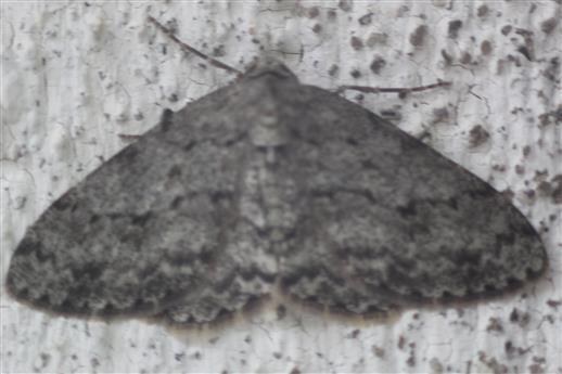 Großer Baumspanner(Hypomecis punctinalis(Scopoli 1763))