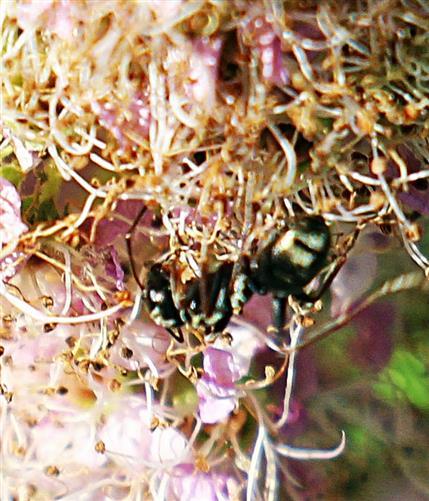 Schwarze Wegameise(Lasius niger(L. 1758)) auf einem Spierstrauch(Spiraea salicifolia(L.))