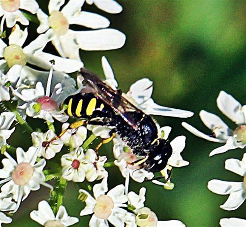 Rothörnige Grabwespe(Ectemnius ruficornis(Zetterstedt 1838)) beim Blütenbesuch