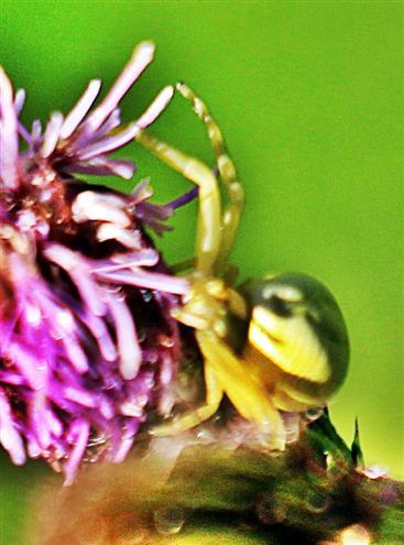 Veränderliche Krabbenspinne(Misumena vatia(Clerck 1757))