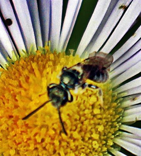 Gemeine Furchenbiene(Lasioglossum calceatum(Scopoli 1763))