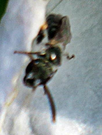 Gemeine Furchenbiene(Lasioglossum calceatum(Scopoli 1763)) 01