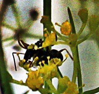 Schwarze Wegameise(Lasius niger(L. 1758)) auf Fenchel(Foeniculum vulgare(L.)Mill.)