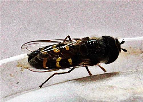 Mondfleck-Feldschwebfliege(Eupeodes luniger(Meigen 1822)) rastend