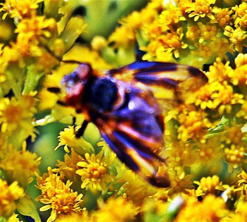 Raupenfliege(Phasia hemiptera(Fabricius 1794)) beim Blütenbesuch