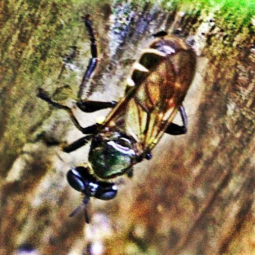 Gemeine Mordfliege(Choerades marginata(L. 1758)) am Baumstumpf ruhend