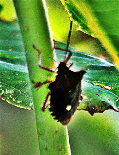 Rotbeinige Baumwanze(Pentatoma rufipes(L. 1758)) unterwegs i