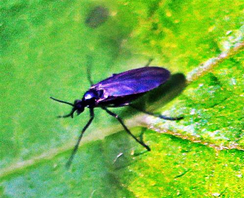 Trauermücke(Sciaridae)