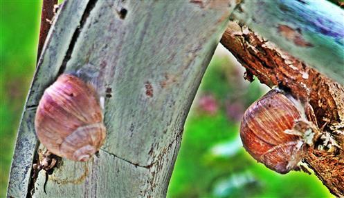 Zwei Weinbergschnecken(Helix pomatia(L. 1758)) mit schleimigen Epiphragma