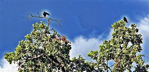 Zwei Saatkrähen(Corvus frugilegus(L. 1758)) in
