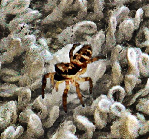 Zebraspringspinne(Salticus scenicus(Clerck 1757)) auf einem Frottee-Handtuch