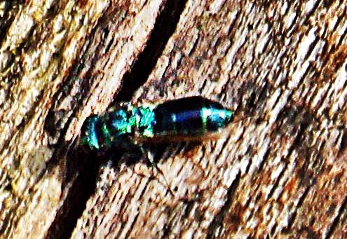 Blaue Goldwespe(Tri-)Chrysis cyanea(L. 1758))