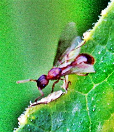 Gelbe Wiesenameise(Lasius flavus(L. 1758))(Geschlechtstier, junge Königin)