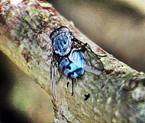 Schmeißfliege(Calliphora vicina(Robineau-Desvoidy 1830))