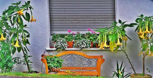 Engelstrompeten(Brugmansia aurea(Pers.))