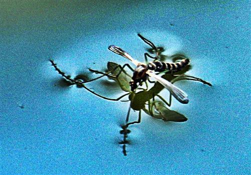 Gemeine Stechmücke(Culex pipiens(L. 1758)) auf einer Wasseroberfläche