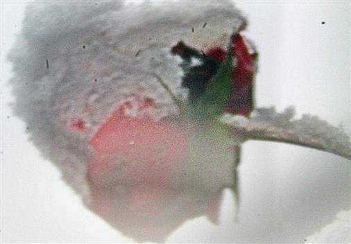 Rosenknospe unter Schnee