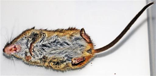 Unterseite einer Zwergmaus(Micromys minutus(Pallas 1771)) - Beute einer Katze aus der Nachbarschaft