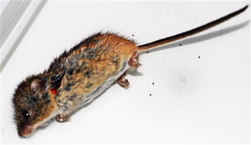 Zwergmaus(Micromys minutus(Pallas 1771))